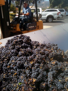 Suisun Valley Grapes